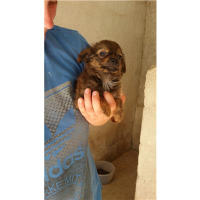 Comune di Summonte - Cane - Microchip 380260043808380